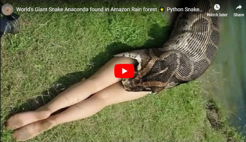 Giant Anaconda Found In Amazon River - World's Largest Snake